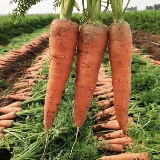 漳州漳浦县胡萝卜 ️蔬菜组合义卖 顺丰包邮 5斤福利价 17.9元 沙地红萝卜