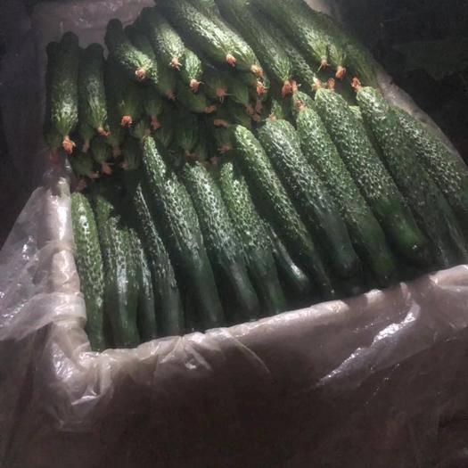 潍坊寿光市 精品大黄瓜密刺价格低质量好 走量