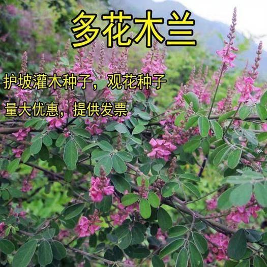沭阳县 多花木兰种子 蜜源植物*蓝枝种子公路绿化护坡型灌木牧草种子