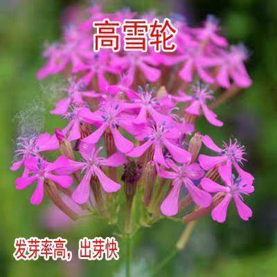 宿迁沭阳县高雪轮种子 高雪伦种子 花卉种子 美人草高雪轮 草花种子 耐寒耐旱 容易