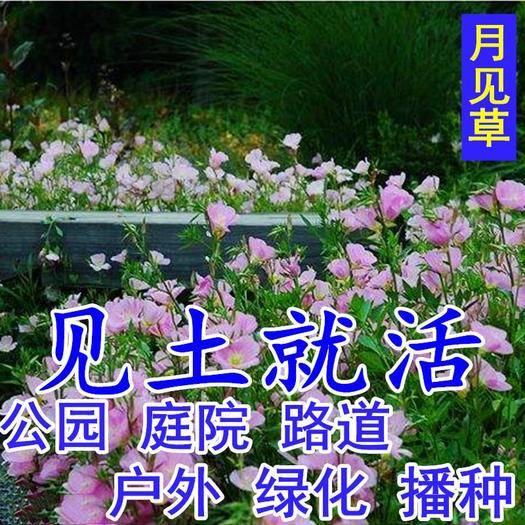 沭阳县 月见草种子 四季开花易种*的阳台盆栽庭院花海景观花卉花种籽