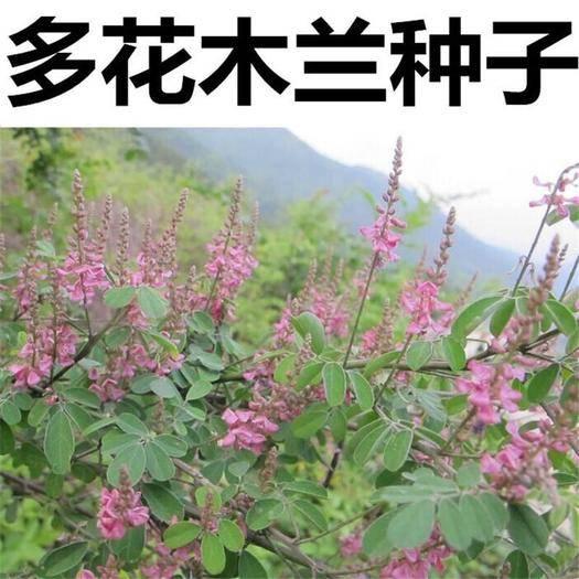 沭阳县多花木兰种子 多花木兰 种子种苗绿化蜜源包邮