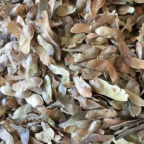 保定安国市 新五角枫种子五角枫树籽有各种林木种子