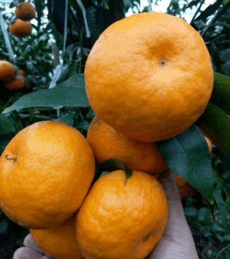 重庆黄美人柑橘枝条 红美人的换代新品种—黄美人—黄美人枝条
