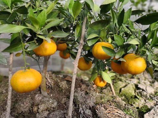重庆 日本爱媛县重量级杂柑新品种—甘平—甘平枝条