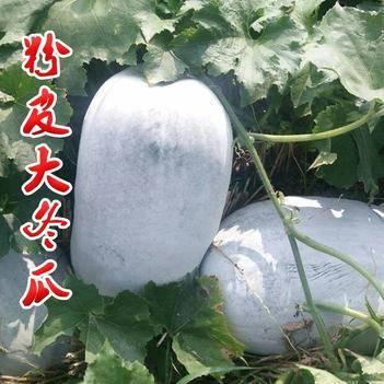 特大粉皮冬瓜种子种籽果皮白绿色阳台四季东瓜巨型蔬菜孑盆栽大菜