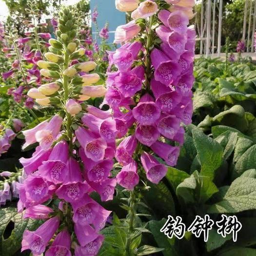 宿迁沭阳县 散装 钓钟柳种子 吊钟柳种子 园林绿化中 花镜或绿岛栽植
