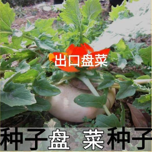 迁安市 盘菜种子特色蔬菜种子原装种子包邮