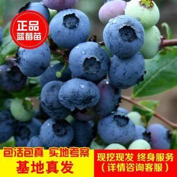精品北蓝 薄雾 蓝宝石兔眼蓝莓苗 基地发货南北方种植 包邮
