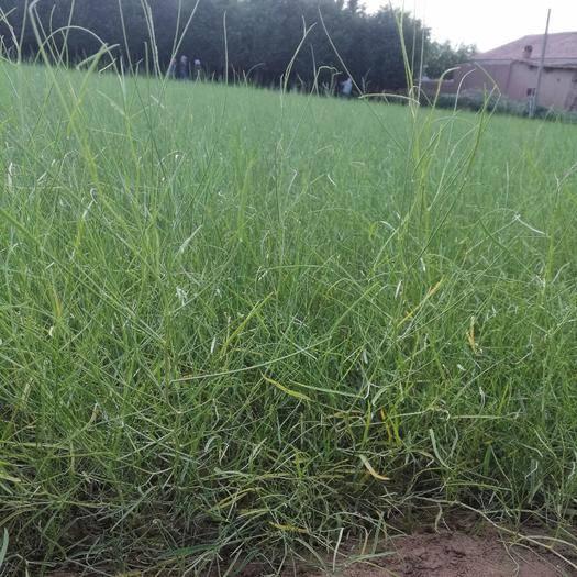 张掖临泽县花棒种子 供应花棒 一年生花棒苗 30公分以上花棒树苗
