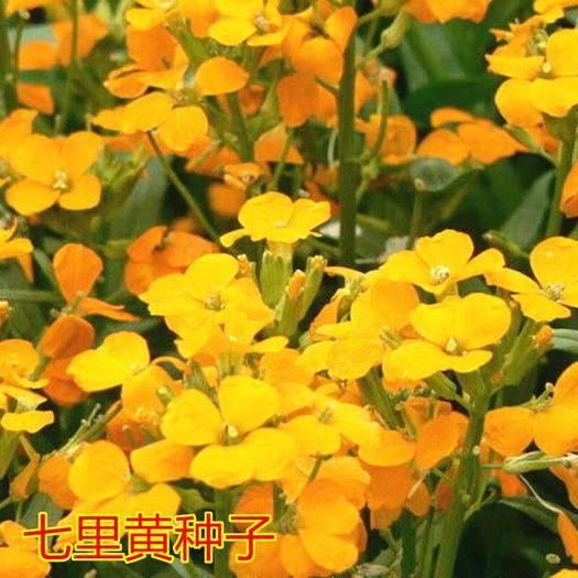 沭阳县 花卉种子 七里黄种子四季播种花海阳台种植包邮