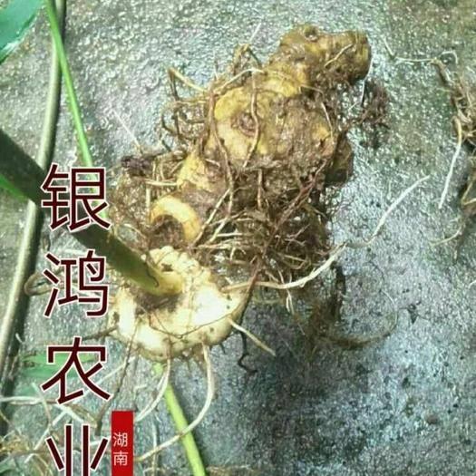 益阳安化县黄精种苗 姜型黄精基地直供种茎,种苗商品