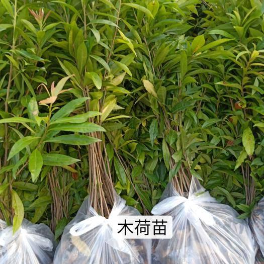广州木荷苗 木荷,大小规格袋苗