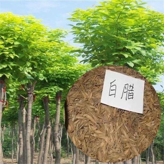 沭阳县 新采白蜡种子包邮青榔木白荆树绿化树苗观赏种子优质木材树苗种子