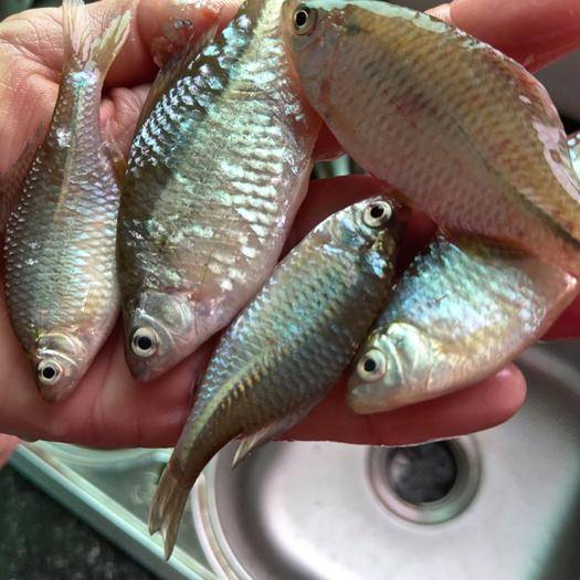 宜春上高县 淡水鳑鲏,可油炸下酒菜,可鱼龟饵料鱼,国家二级饮用水源育鱼