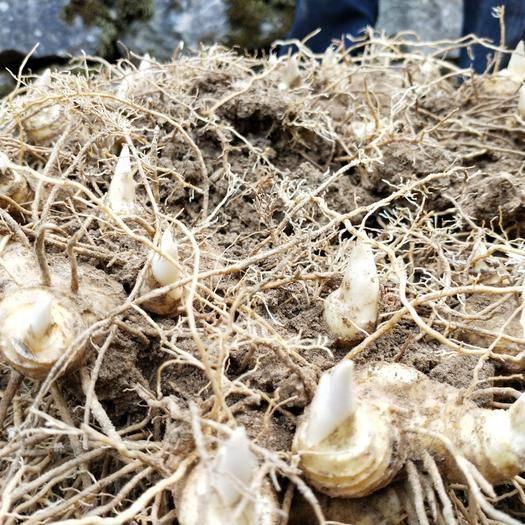 益阳安化县黄精种苗 优质多花黄精种茎种苗基地直供
