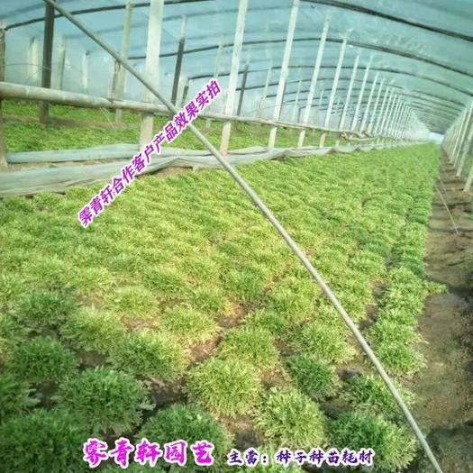 郑州 优质苦苣种子新种子包邮