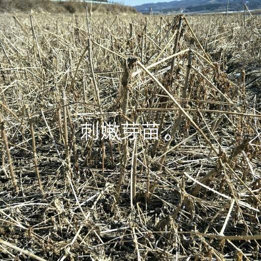 抚顺清原满族自治县刺老芽苗 一年生的刺嫩芽苗