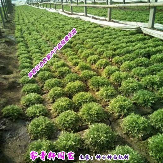 郑州 优质散称苦苣种子包邮
