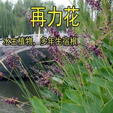 宿迁沭阳县 水生植物 再力花种子 花叶芦竹黄蒲芦苇水葱水葫芦鸢尾种子春