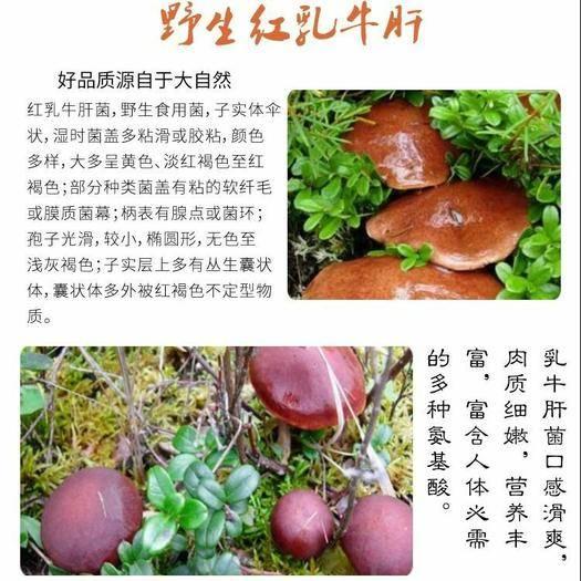 潮州湘桥区 【红乳牛肝菌干货】云南牛肝菌干货土特产蘑菇菌菇