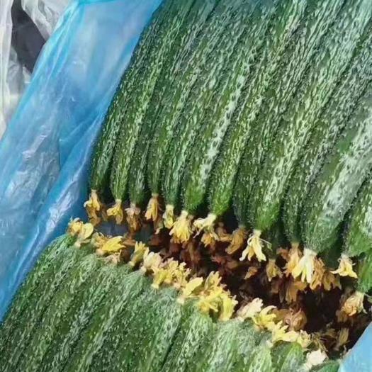 临沂兰陵县 精品黑皮,密爱黄瓜,产量大,价格不高