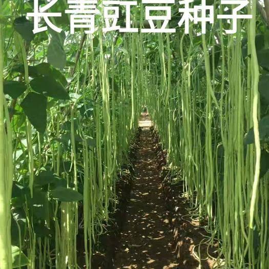 唐山迁安市长青豆角种子 长豇豆种子花豇豆种子四季播种种子原装种子包邮