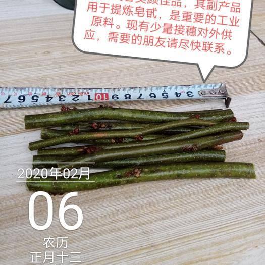 驻马店西平县皂角嫁接枝条 果用皂角G303接穗