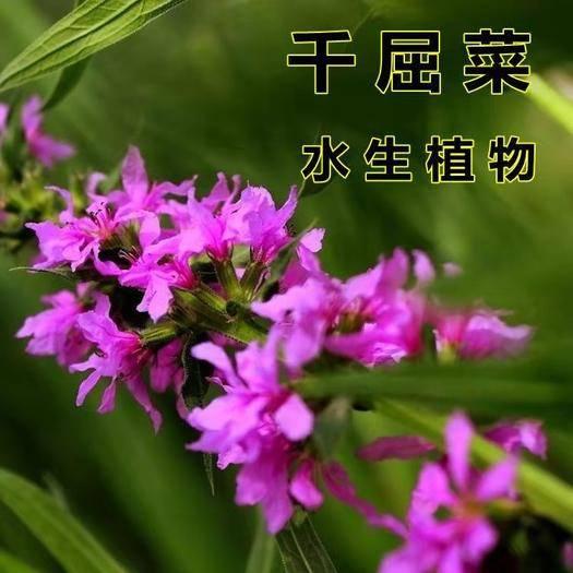 宿迁沭阳县 千屈菜种子水枝柳种籽花种四季开花不断室外花种籽子水生栽培植物
