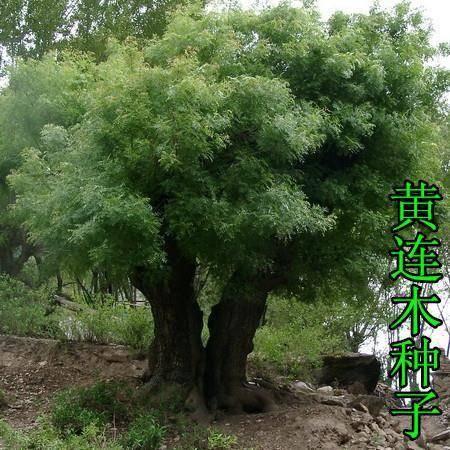 宿迁沭阳县 林木种子黄连木种子 黄连木 当年新种子 出芽率高 亩播净籽5