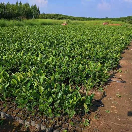 湛江廉江市 榴莲菠萝蜜苗,珍珠菠萝蜜苗,红肉,泰国8号,马来西亚1、2