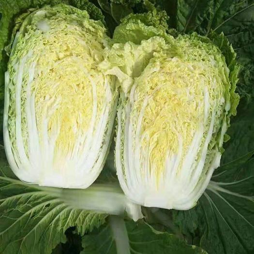 兰陵县 【 精品黄心大白菜】个头均匀出菜率高,无烧心黄叶,产地直发
