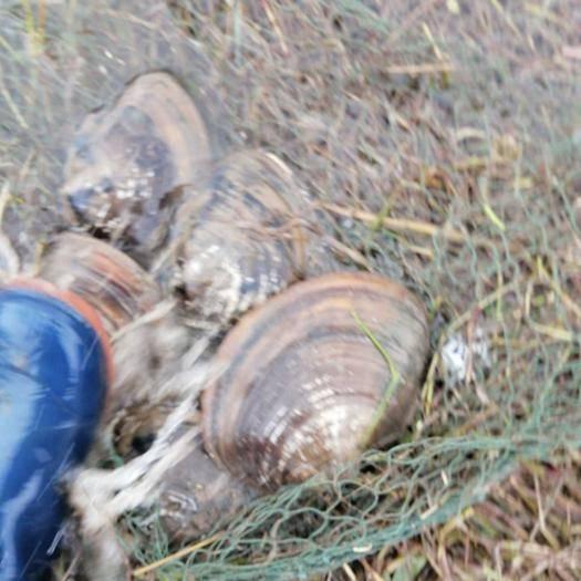 阳新县背角无齿蚌 圆蚌大,小都有,三角蚌一斤到两斤以上都有。