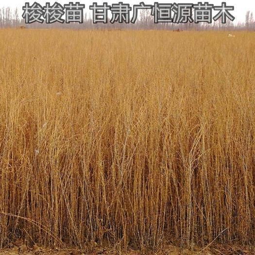 临泽县梭梭苗 甘肃梭梭基地 1年生一柱香梭梭 苗圃自产自销