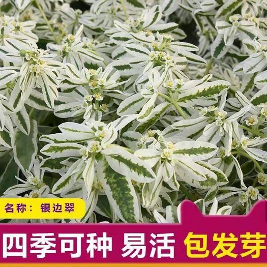 宿迁沭阳县 银边翠种子花卉花草种子 多年生草本植物 易播种 出芽快 高山