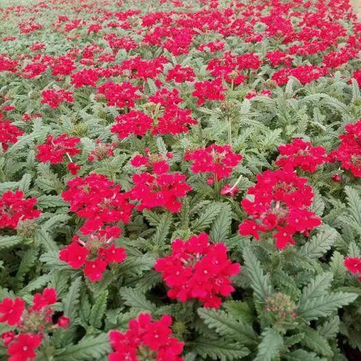 莒南縣 沐晨花卉種植基地,現有大量的美女櫻花出售