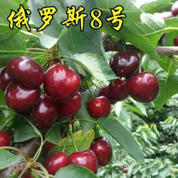 俄罗斯8号樱桃苗 俄罗斯8号樱桃嫁接苗 基地发货包成活包邮南北方种植