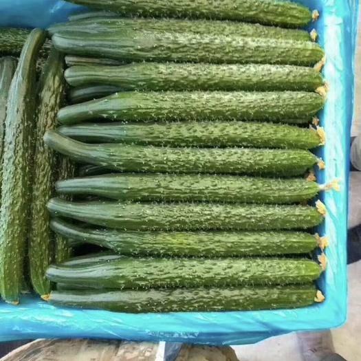 临沂兰陵县 精品密刺亮条黄瓜,颜色鲜艳条形好大型基地适合打各种包装