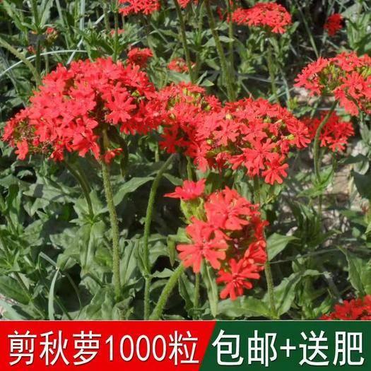 宿迁沭阳县 花海专用草花种籽大花剪秋罗种子多年生草本四季可播种剪秋萝