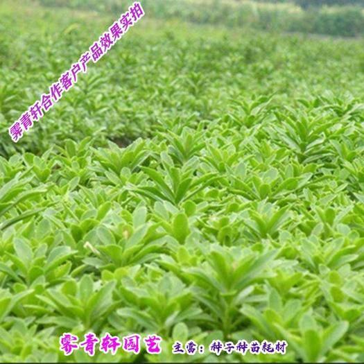 郑州二七区 高钙菜种子 救心菜种子 费菜种子新种子包邮