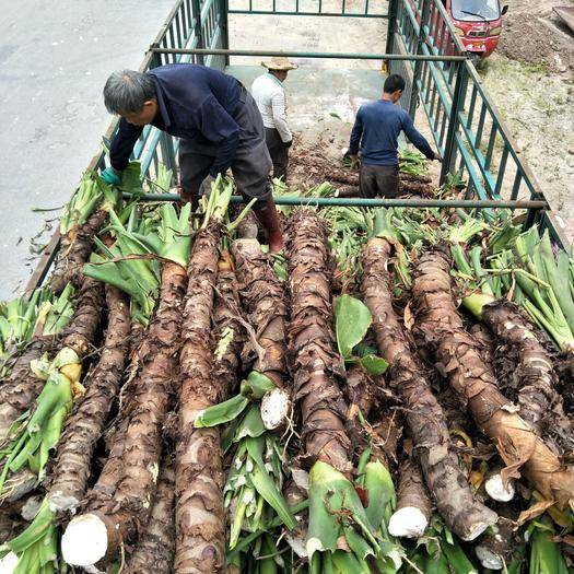 玉林北流市滴水观音种芋 产地批发订购海芋滴水观音千手观音绿化树占地树