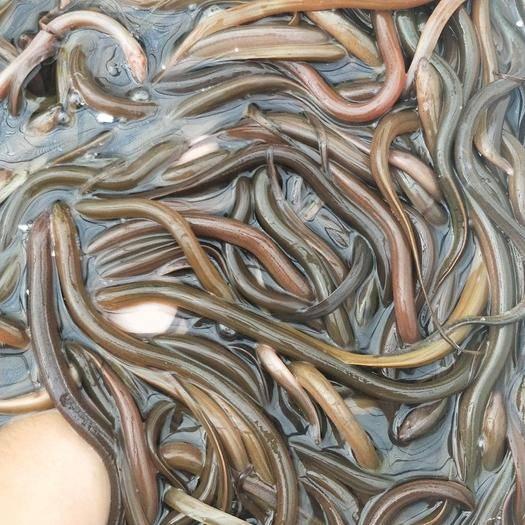 益阳沅江市 优质淡水种苗批发 一条黄鳝苗多少钱?