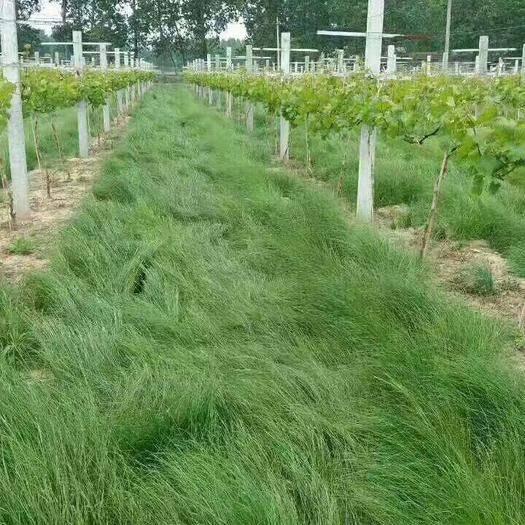 郑州中原区鼠茅草种子 鼠茅草被广泛用于果园做绿肥,改善土壤,增加土壤有机质