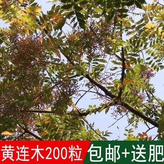 宿迁沭阳县 林木种子黄连木种子 黄连木 当年新种子 出芽率高