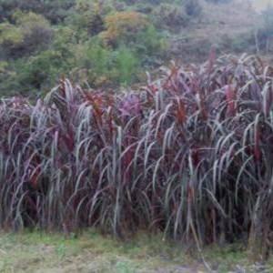 新余分宜县甜象草 多年生高产牧草、红象草种节2毛钱一节 300节起发 包邮