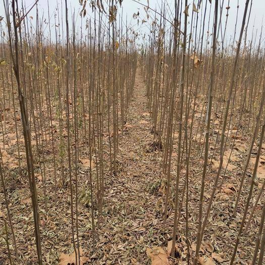 駐馬店驛城區 黃山欒,大量欒樹小苗規格1至3米