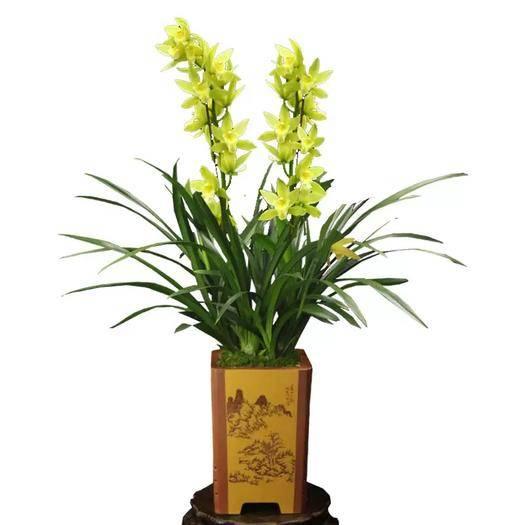 清遠英德市 蘭花綠翡翠帶花苞濃香型四季蘭室內客廳辦公室花卉盆栽凈化空