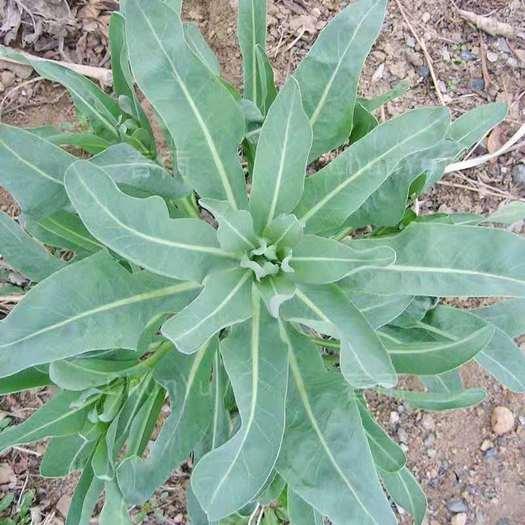 思茅景东彝族自治县板蓝根种苗 板蓝根种籽苗大青叶,中药材药材板蓝根植物。