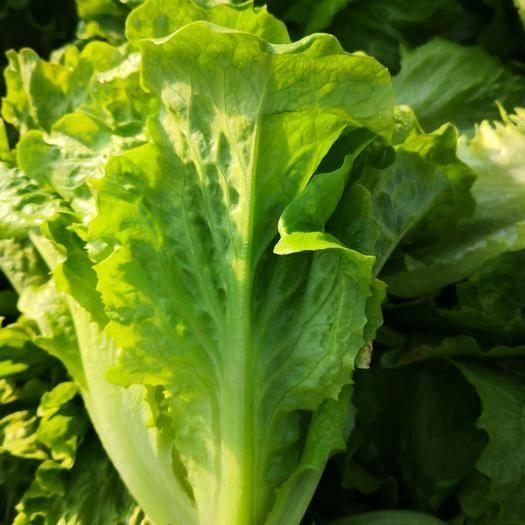 中牟縣生菜 基地種植,量大從優,保證品質,可支持配貨!