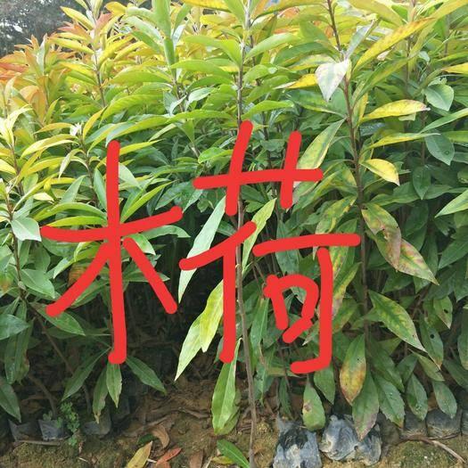 广州 木荷苗,(木荷苗批发)木荷苗营养袋苗,木荷苗价格。